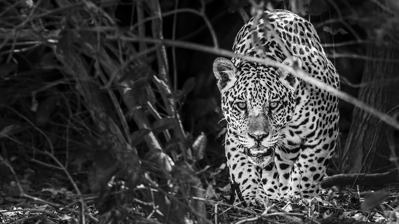 Jaguar (Panthera onca) @ Pantanal National Park, Brazil - Marcos Amend